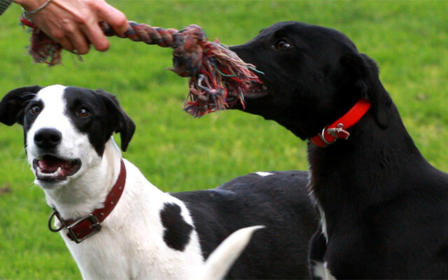 greyhounds playing with rope